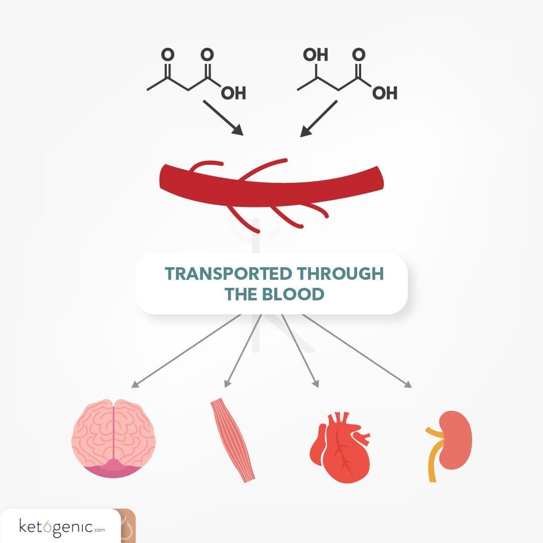 ketone transport through blood
